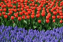 тюльпаны bluebells Стоковые Фото