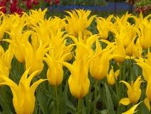 Тюльпаны field в садах Keukenhof Стоковые Изображения