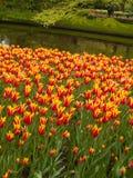 Тюльпаны field в садах Keukenhof Стоковые Изображения RF