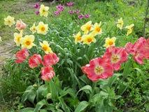 Тюльпаны, narcissus и chickweed стоковое изображение