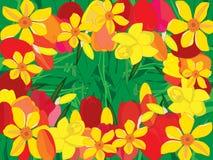 тюльпаны narcissus Стоковые Фотографии RF