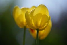 тюльпаны yelloy Стоковое Изображение RF