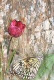тюльпан бабочки Стоковое Изображение