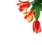 тюльпан букета Стоковые Фото