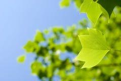 тюльпан вала листьев Стоковое Фото