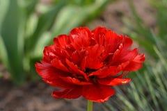Тюльпан весной Стоковое Изображение