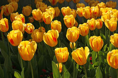 тюльпан весны вида juliette Стоковые Изображения