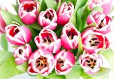 тюльпан весны цветков розовый Стоковое Фото