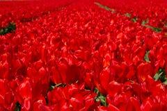 тюльпан Голландии поля Стоковая Фотография