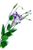 тюльпан горечавки eustoma Стоковые Фотографии RF