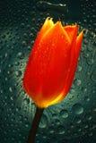 тюльпан зарева Стоковая Фотография