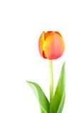 тюльпан изолированный цветком Стоковые Изображения RF