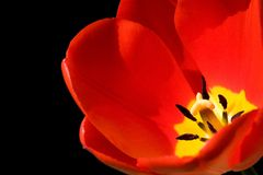 тюльпан изолированный чернотой красный Стоковые Фото