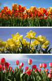 тюльпан коллажа Стоковое фото RF