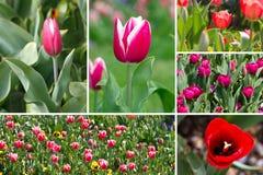 тюльпан коллажа Стоковое Изображение RF