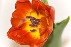 тюльпан красного цвета детали Стоковые Фотографии RF