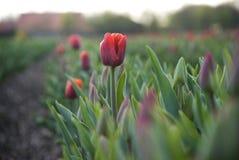 тюльпан красного цвета поля стоковые фотографии rf