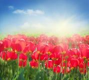 тюльпан красного цвета поля Стоковая Фотография RF