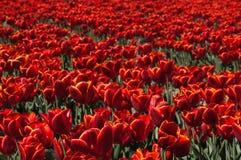 тюльпан красного цвета поля Стоковое Изображение