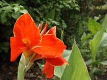 тюльпан красного цвета сада стоковое фото rf