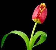 тюльпан красного цвета цветка Стоковые Фотографии RF