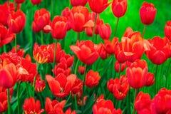 тюльпан 01 красного цвета Стоковое Изображение RF