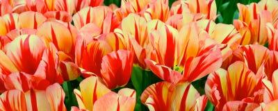 Тюльпан красочного крупного плана красный между розовой предпосылкой праздника Стоковые Фото