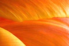 тюльпан лепестков макроса Стоковая Фотография RF
