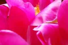 тюльпан лепестков Стоковая Фотография