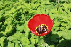 Тюльпан на зеленой предпосылке листьев стоковое изображение