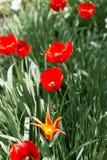 Тюльпан на природе Стоковое Изображение RF