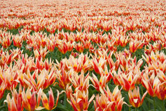 тюльпан Нидерландов поля Стоковое Изображение