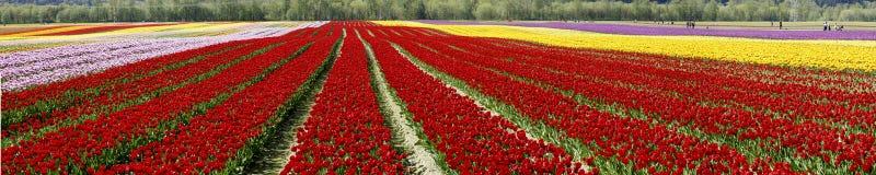 тюльпан панорамы поля Стоковые Изображения
