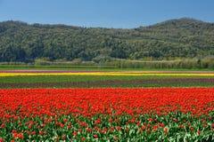 тюльпан поля Британского Колумбии Стоковое Изображение RF