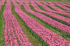 тюльпан поля Британского Колумбии Стоковая Фотография