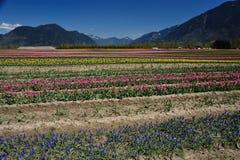 тюльпан поля Британского Колумбии Стоковые Изображения