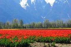 тюльпан поля Британского Колумбии Стоковая Фотография RF