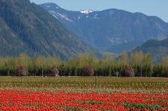 тюльпан поля Британского Колумбии Стоковое Изображение