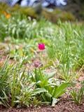 тюльпан поля розовый Стоковая Фотография RF