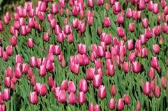 тюльпан поля розовый Стоковое фото RF