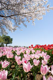 тюльпан поля розовый Стоковые Изображения