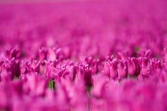 тюльпан поля розовый Стоковое Изображение RF