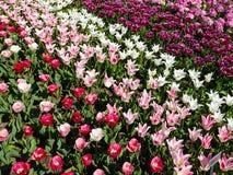 Тюльпан поля цветка тюльпана, красного цвета, розовых и белых цветет Стоковое фото RF