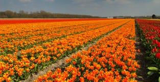 тюльпан поля Стоковые Фото