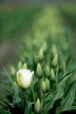 тюльпан поля Стоковая Фотография RF
