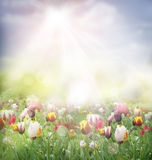 тюльпан поля Стоковое Изображение