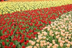 тюльпан поля Стоковая Фотография