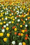 тюльпан поля Стоковые Фотографии RF