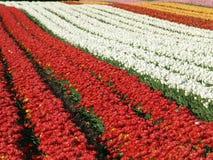 тюльпан поля Стоковое Изображение RF