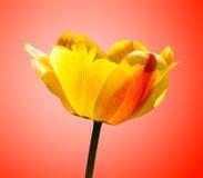 тюльпан померанца цветка предпосылки стоковое изображение